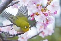 河津桜とメジロ - エーデルワイスPhoto