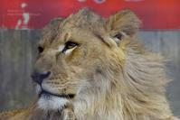 2020.2.29 宇都宮動物園☆ライオンのゴーくん【Lion】 - 青空に浮かぶ月を眺めながら