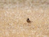 ヒバリ囀り、チュウヒは燃えて、コミミズクが舞う - ひとり野鳥の会