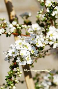 雪柳 - 花と風の薫り