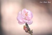 花桃が咲き始めました2020年3月12日 - LLC徒然