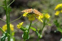 ■花と蝶 3種(キタテハ、キタキチョウ、テングチョウ) - 舞岡公園の自然2