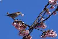 大寒桜の蜜を吸うニュウナイスズメ - 野鳥公園