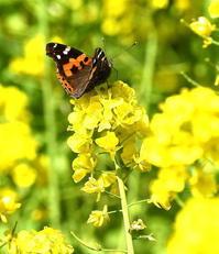 春は確実に菜の花にきたチョウたち - 旅のかほり