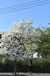 散りゆく春白木蓮の道 - 素顔のままで