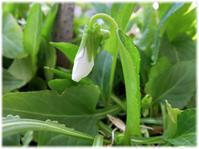春が来て、スミレとシャムロックが満開に - nazunaニッキ
