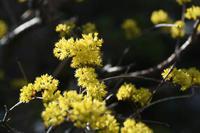 20年春の自然(13)…黄色 - ふぉっしるもしてみむとてするなり
