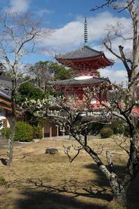大覚寺の梅の続き - Taro's Photo