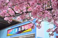 満開の頃 『三浦海岸 桜まつり2020』 - 写愛館