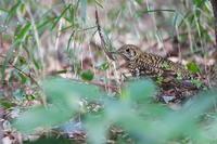 至福の時間トラツグミ(虎鶫) - 身近な自然を撮る