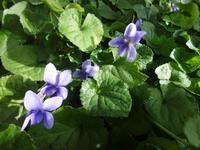 匂い菫 - だんご虫の花