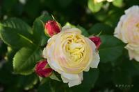 ブログ7周年Fruit RosaOrientis - カヲリノニワ