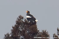 オオワシ - 気ままに野鳥観察