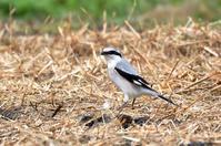 オオカラモズ - ごっちの鳥日記