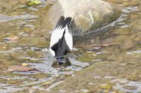 セグレセキレイ・・捕食 - 阪南カワセミ【野鳥と自然の物語】