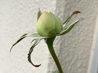 薔薇ボレロとニームとカレーの木 - いととはり