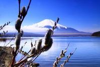 令和2年3月の富士(6)山中湖畔ネコヤナギと富士 - 富士への散歩道 ~撮影記~