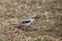 オオカラモズその2(餌を確保したが?) - 私の鳥撮り散歩