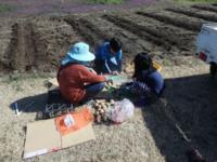 ジャガイモを植えました - 元祖 一宮水密