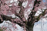 妙行寺のしだれ桜・メジロ - イーハトーブ・ガーデン