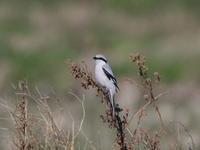 初見初撮りオオカラモズ - 『彩の国ピンボケ野鳥写真館』