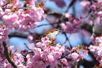 ニュウナイスズメ03月15日 - 旧サンヨン野鳥撮影放浪記