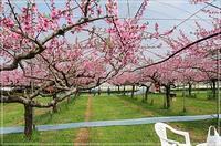桃のファームは満開に - 風にのって・・・