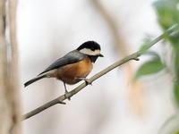 ヤマガラとシジュウカラ - コーヒー党の野鳥と自然パート3