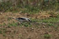 着地したオオカラモズ - 野鳥公園