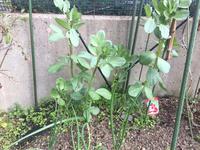そら豆・たまねぎ・水菜生育状況【2020/03/15】 - へい まささん の ひとりごと