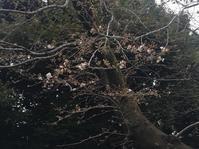 桜の開花となごり雪の日 - 青山ぱせり日記