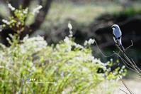 迷鳥 オオカラモズ(大唐百舌) ② - azure 自然散策 ~自然・季節・野鳥~