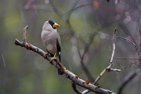 雨とイカル - 野鳥などの撮影記録