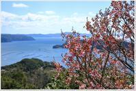 陽光桜に集まるメジロ - ハチミツの海を渡る風の音