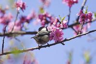 桃の花にシジュウカラ - 生きる。撮る。