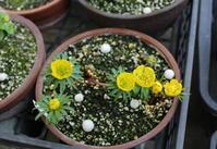 早春の山野草たち - 野山の花たち