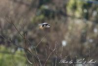 初見♪初撮り♪珍鳥「オオカラモズ」さん♪ - ケンケン&ミントの鳥撮りLifeⅡ