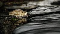 ヤマシギ - 北の野鳥たち