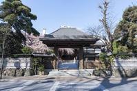 さいたま市玉蔵院の枝垂桜 - 暢気(のんき)おやじ