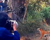 雌ベンガルトラがアジアゾウを狙う - アニマル情報202X