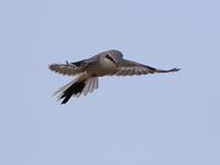 オオカラモズのホバリング - 『彩の国ピンボケ野鳥写真館』