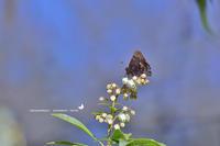 春の妖精達に交じって、ルリシジミも輝く(2020/03/11)比企② - 里山便り