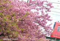 ギリギリ楽しめた頃 『三浦海岸 桜まつり2020』 - 写愛館