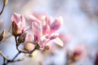 咲き姿 - purebliss