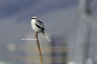ン年に一度の珍鳥…でも大フィーバーでネットに記事氾濫w - Olive Drab