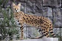 多摩動物公園2020年3月7日サーバル - お散歩ふぉと2