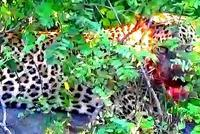 ヒョウが大きなイノシシを仕留める - アニマル情報202X
