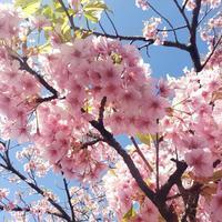 桜満開!朝のお散歩続いてます♪ - kedi*kedi