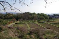 天理市崇神陵丘の畑で - ぶらり記録 2:奈良・大阪・・・