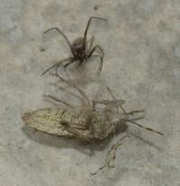 蜘蛛 強し - @lapie.fr